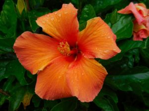 hibiscus, orange, nature