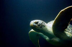 sea turtle, turtle, meeresbewohner